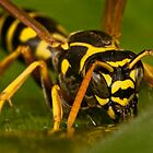 European Paper Wasp by Samuel Gundry