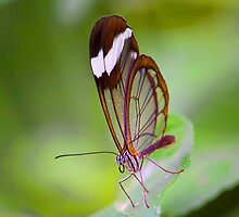 See Through Butterfly by Ray Clarke