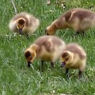 Goslings by Barry W  King