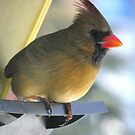Female Cardinal at Feeder by RLHall
