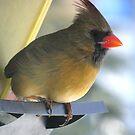 Female Cardinal at Feeder by RLHall