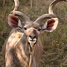 Kudu by Jo McGowan