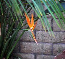 Bird of Paradise by ellc