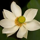 White Lotus by Beata Bernina