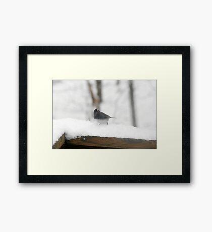 Junco Framed Print