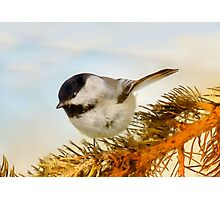 Chickadee on Fir Photographic Print