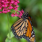 Monarch Butterfly Hanging Out by Autumn Long
