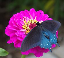 Blue Swallowtail by Autumn Long
