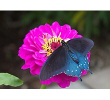 Blue Swallowtail Photographic Print