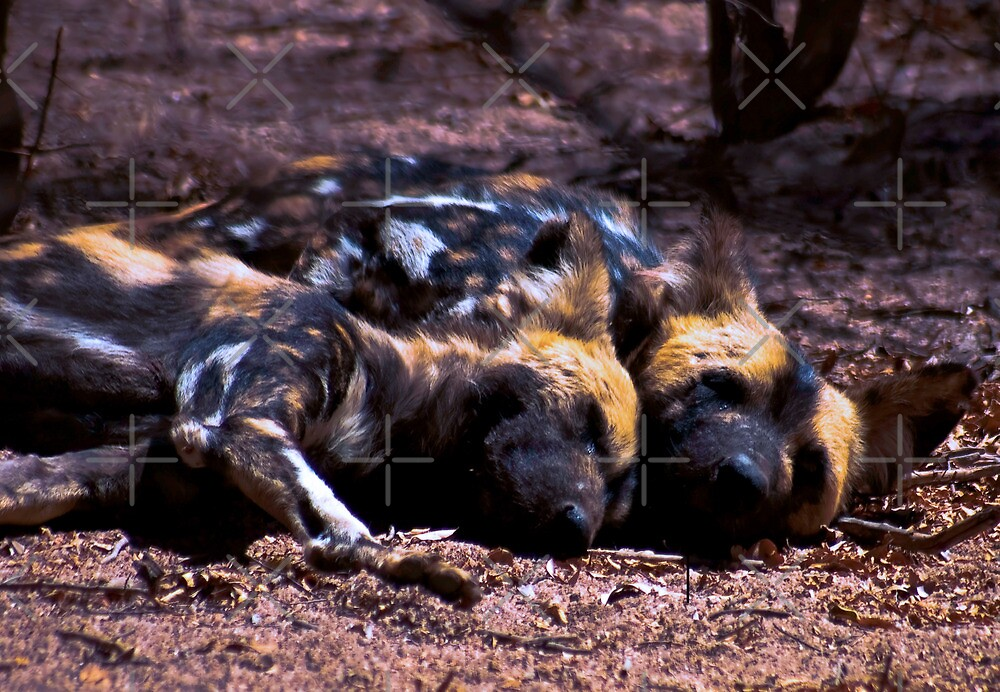 WILD DOG -Lycaon pictus (ENDANGERED SPECIES) by Magriet Meintjes