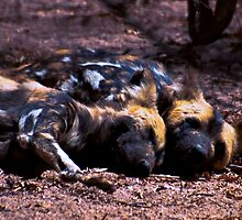 WILD DOG -Lycaon pictus (ENDANGERED SPECIES) by Magaret Meintjes