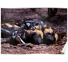 WILD DOG -Lycaon pictus (ENDANGERED SPECIES) Poster