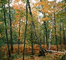Forest of Birch trees by Cushman