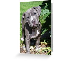 Gorgeous Baby Pitbull Puppy Dog (Head Tilted) Greeting Card