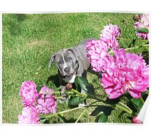 Gorgeous Baby Pit Bull Puppy Dog in Peony Flowers Poster