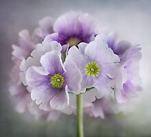 Primulas by Mandy Disher