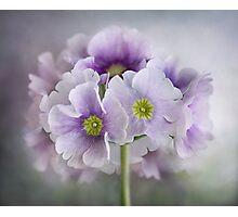 Primulas Photographic Print