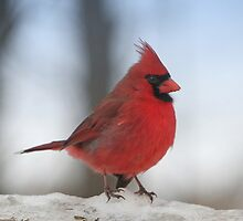 Cardinal in the Snow by livinginoz