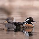 Hooded Mergansers by tomryan