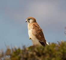 Nankeen kestrel by Sarah Guiton