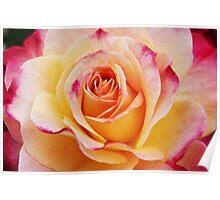 Hybrid Yellow Tea Rose Poster