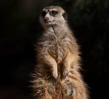 Meerkat. Lighting by Rembrandt by eclectic1