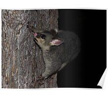 Possum Tree Play Poster