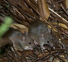 Mr and Mrs Antechinus by inAWE