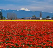 Skagit Valley Tulip Fields by RavenFalls