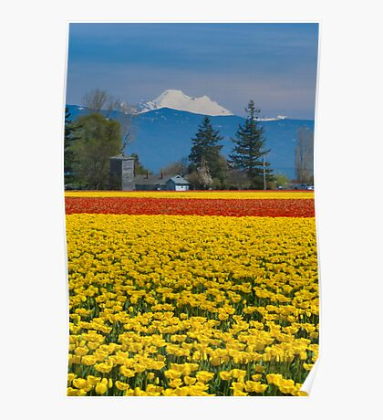 Skagit Valley Tulip Fields Poster
