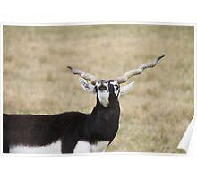 Blackbuck Bleats Poster