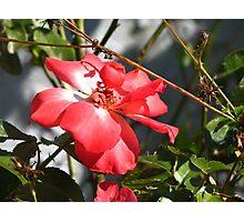 Orange red rose Photographic Print