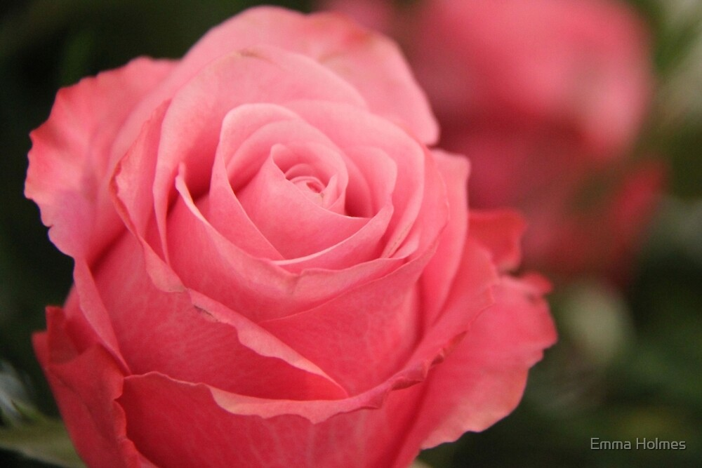 Pink Rose by Emma Holmes