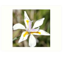 White Australian Native Flower Art Print