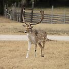 Fallow Deer Buck by Terence Russell