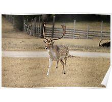 Fallow Deer Buck Poster
