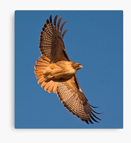 1212097 Red Tailed Hawk Canvas Print