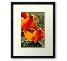 tulip in spring Framed Print