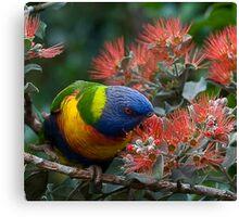 Australian Native rainbow lorikeet Canvas Print