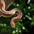 Rat Snake, Florida by nancyb926