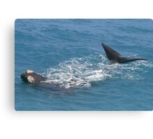 Whales at head of Bight, 2013. Canvas Print