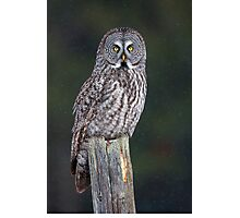 Great Grey Owl on Post Photographic Print