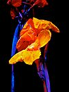 Canna Lilies on Black With Blue by MotherNature
