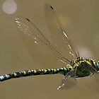 Southern Hawker dragonfly in flight by Hugh J Griffiths