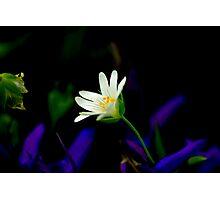 Stitchwort Photographic Print