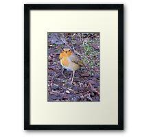 Ragged Robin Framed Print