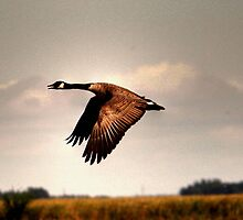 Goose in Flight by Larry Trupp