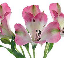 Peruvian Lily by OldaSimek