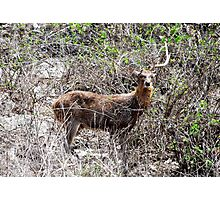 The illusive barking deer on Pemuteran Island, Bali Photographic Print