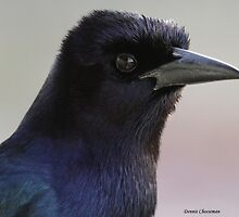 Boat Tailed grackle by Dennis Cheeseman